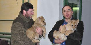 Cei doi pui de leu nascuti la Gradina Zoologica din Targu-Mures au fost