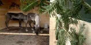 Cum au ajuns in Romania reni veritabili din Laponia. Rudolph si Dasher, doua exemplare adorabile, hranite de copii