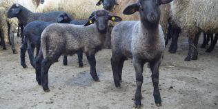 Supermieii de Paste sunt negri si ajung pana la 30 de kilograme la varsta de taiere