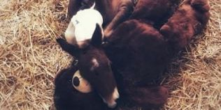 Tanara care salveaza caii: le preda studentilor si va fi primul roman specialist in medicina interna a calului