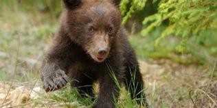 VIDEO Cel mai jucaus pui de urs din Apuseni. Cum a fost filmat, noaptea, in padure